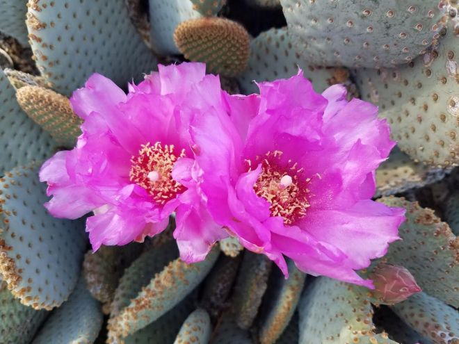 cactusbloom1