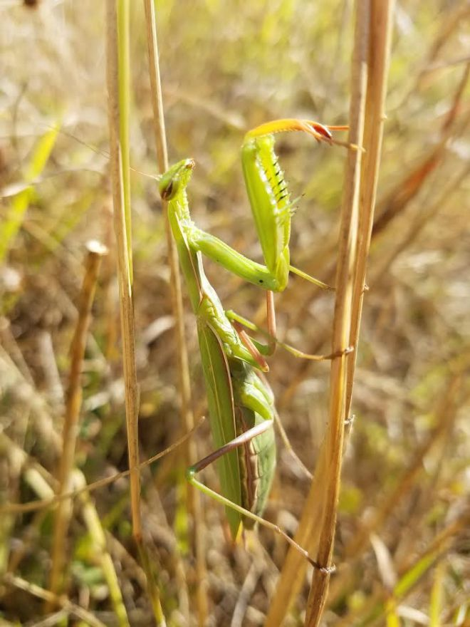 prayingmantis